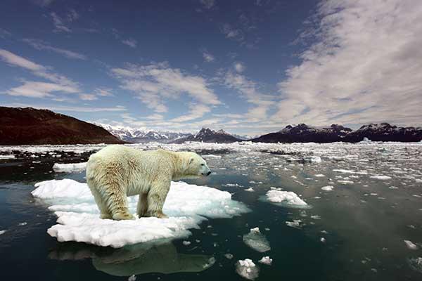 Climate Change Global Wamring Issue | Polar Bear on Ice