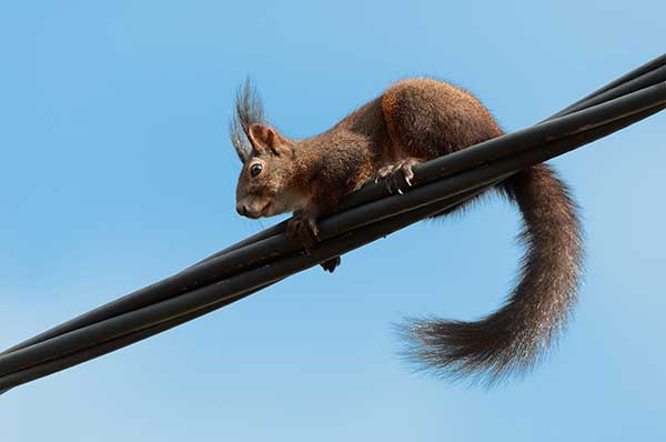Squirrel on a Power Line Not Shocked